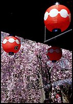 Lanterns and flowering sakura (cherry blossoms), Gion. Kyoto, Japan (color)