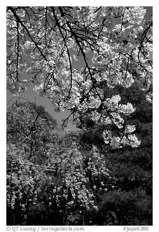 Sakura flowers: branch of white and red blossoms. Kyoto, Japan (black and white)
