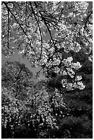 Sakura flowers: branch of white and red blossoms. Kyoto, Japan ( black and white)