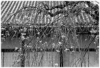 Temple walls and cherry tree in bloom. Kyoto, Japan ( black and white)