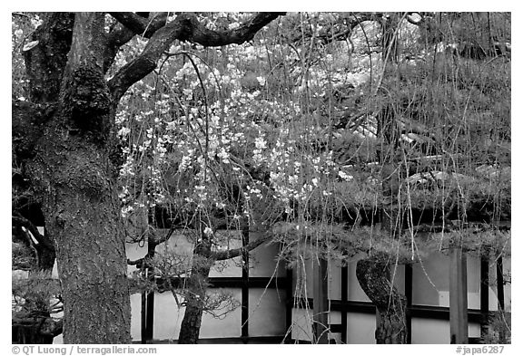 Cherry blossoms, pine tree, and temple wall, Sanjusangen-do Temple. Kyoto, Japan