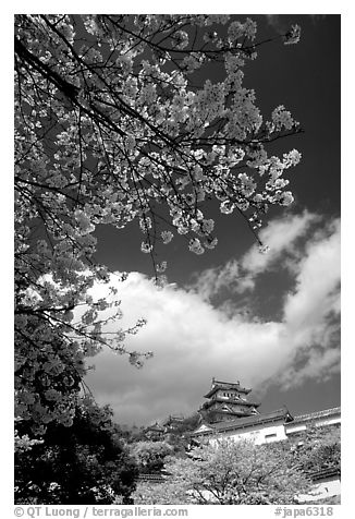 Cherry blooms and castle. Himeji, Japan