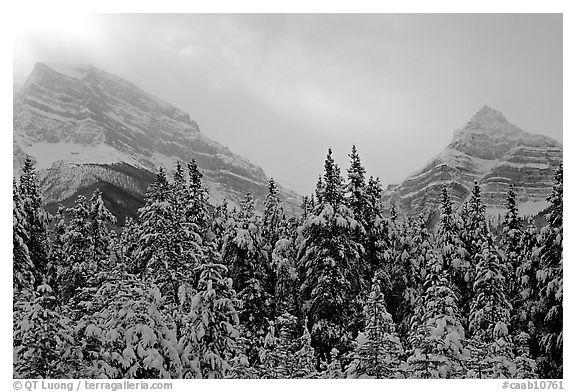 Conifer sand foggy peaks in winter. Banff National Park, Canadian Rockies, Alberta, Canada