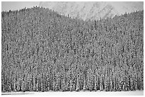 Hill with snowy conifers. Banff National Park, Canadian Rockies, Alberta, Canada (black and white)
