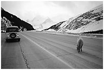 Mountain goat and camper car on Icefields Parway in winter. Banff National Park, Canadian Rockies, Alberta, Canada (black and white)