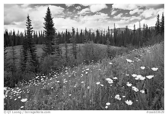 Red paintbrush flowers, daisies, and mountains. Banff National Park, Canadian Rockies, Alberta, Canada (black and white)