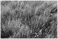 Prairie Grasses. Alberta, Canada (black and white)