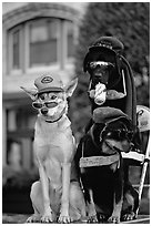 Two performing dogs. Victoria, British Columbia, Canada ( black and white)