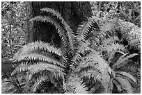 Ferns and trunk. Pacific Rim National Park, Vancouver Island, British Columbia, Canada ( black and white)