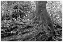 Tree growing on a nurse log. Pacific Rim National Park, Vancouver Island, British Columbia, Canada (black and white)