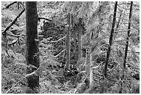 Western Hemlock, red cedars, and firs on the trail to Schooner Point. Pacific Rim National Park, Vancouver Island, British Columbia, Canada ( black and white)