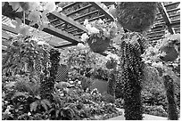 Bower overflowing with hanging baskets of begonias and fuchsias. Butchart Gardens, Victoria, British Columbia, Canada ( black and white)