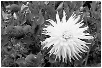 Yellow and red Dahlias. Butchart Gardens, Victoria, British Columbia, Canada (black and white)