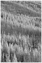 Partly burned trees on hillside. Kootenay National Park, Canadian Rockies, British Columbia, Canada ( black and white)