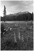 Yellow flowers, Kootenay River, and Mitchell Range, sunset. Kootenay National Park, Canadian Rockies, British Columbia, Canada ( black and white)