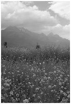 Fields with yellow mustard, below the Jade Dragon mountains. Baisha, Yunnan, China (black and white)