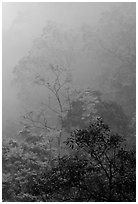 Trees in fog between Qingyin and Hongchunping. Emei Shan, Sichuan, China ( black and white)
