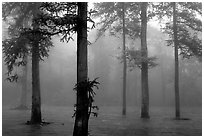Trees outside of Xiangfeng temple in fog. Emei Shan, Sichuan, China ( black and white)