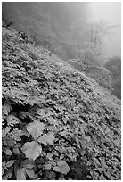 Wildflowers and ferns on a hillside in the fog between Xiangfeng and Yuxian. Emei Shan, Sichuan, China ( black and white)