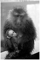 Monkey and baby monkey. Emei Shan, Sichuan, China ( black and white)