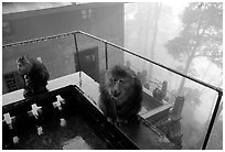 Monkeys outside Yuxian temple. Emei Shan, Sichuan, China ( black and white)
