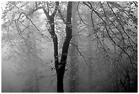 Trees in fog between Xixiangchi temple and Leidongping. Emei Shan, Sichuan, China ( black and white)