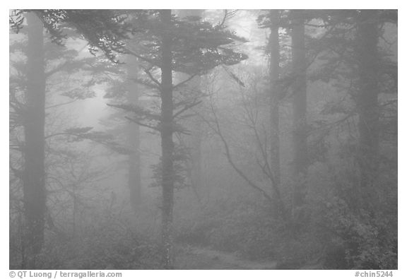 Trees in the mist between Xixiangchi temple and Leidongping. Emei Shan, Sichuan, China (black and white)