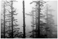 Trees in mist. Emei Shan, Sichuan, China ( black and white)