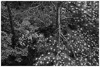Trees with blooms. Huangshan Mountain, China ( black and white)