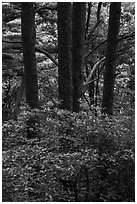 Rhododendrons and tree trunks. Huangshan Mountain, China ( black and white)