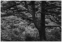Tree and rhododendrons in bloom. Huangshan Mountain, China ( black and white)