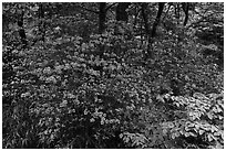 Vivid rhododendrons in forest. Huangshan Mountain, China ( black and white)
