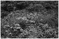 Bright rhododendrons in bloom. Huangshan Mountain, China ( black and white)