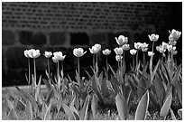 Tulips. Gotaland, Sweden (black and white)
