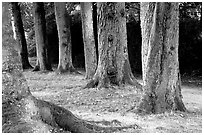 Trees in Palace Gardens, Fontainebleau Chateau. France ( black and white)