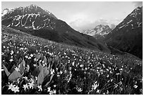 Wildflowers and Oisans range near Villar d'Arene, late afternoon. France (black and white)
