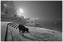 Sacred cow on the banks of Ganges River at night. Varanasi, Uttar Pradesh, India (black and white)