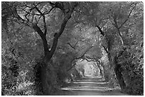 Path through tree tunnel, Keoladeo Ghana National Park. Bharatpur, Rajasthan, India ( black and white)