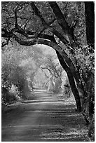 Path and tree tunnel, Keoladeo Ghana National Park. Bharatpur, Rajasthan, India ( black and white)