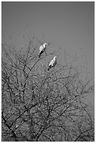 Yellow pigeons, Keoladeo Ghana National Park. Bharatpur, Rajasthan, India ( black and white)