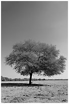 Isolated tree, Keoladeo Ghana National Park. Bharatpur, Rajasthan, India ( black and white)