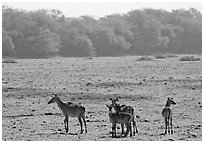Dear in open meadow, Keoladeo Ghana National Park. Bharatpur, Rajasthan, India (black and white)