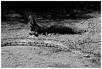 Python snake, Keoladeo Ghana National Park. Bharatpur, Rajasthan, India (black and white)