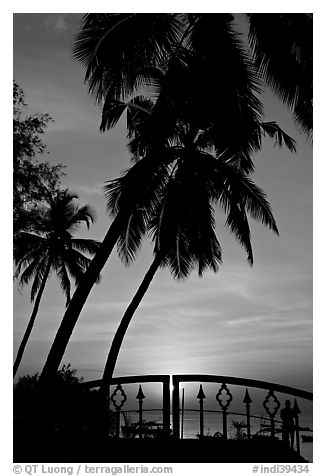 Palm trees and fence at sunrise. Goa, India (black and white)