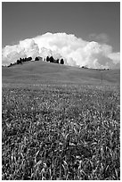 Poppies in field and cloud above distant ridge. Tuscany, Italy (black and white)