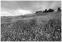 Spring wildflowers and house on hill. Tuscany, Italy ( black and white)