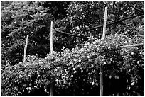 Lemon trees. Amalfi Coast, Campania, Italy ( black and white)