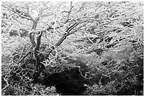 Trees with hoar frost, Mt Halla. Jeju Island, South Korea (black and white)