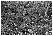 Shrubs and dwarf-fir with frost, Hallasan. Jeju Island, South Korea (black and white)