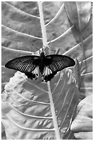 Butterfly and leaf, Sentosa Island. Singapore (black and white)